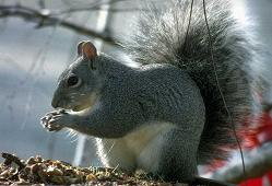 Photo of gray squirrel.