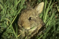 easter, rabbit, cottontail, populations, census, browsing, carrying capacity, food plots, mapping, maps, models
